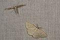 Emmelina monodactyla and Cabera exanthemata (35150164753).jpg