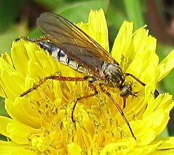 Empis sp.jpg