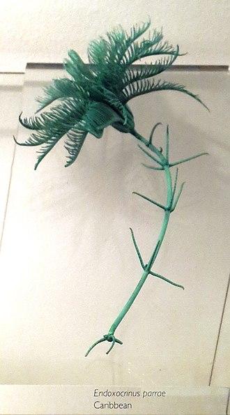 Isselicrinidae - Image: Endoxocrinus parrae