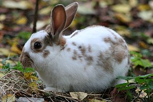 Domestic rabbit - Image: English Spot Rabbit Chocolate 1(cropped)