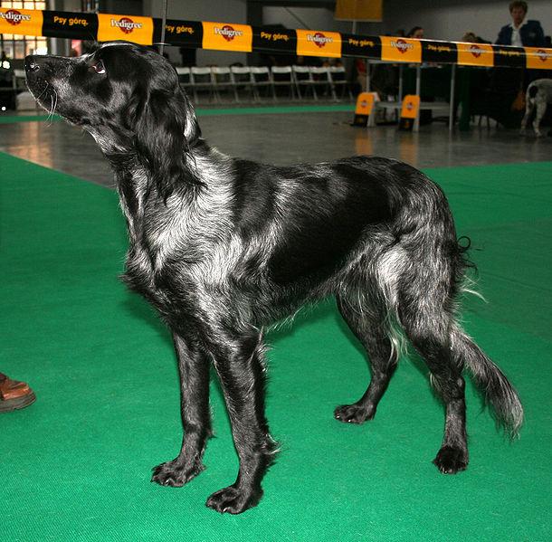 Blue Picardy Spaniel dog