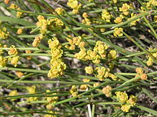 Ephedra distachya (male flowers) 2.jpg