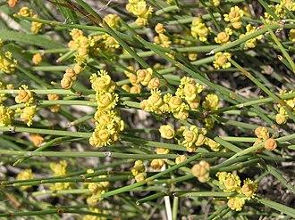 Ephedra distachya - Image: Ephedra distachya (male flowers) 2