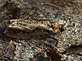 Epinotia sp. (39605272680).jpg