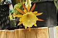 Epiphyllum sp. (27295853667).jpg