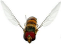 Episyrphus balteatus male - flying small.png