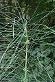 Equisetum telmateia - img 23645.jpg