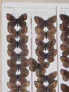 Piedmont ringlet species of insect
