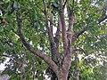 Ericales - Manilkara zapota - 2.jpg