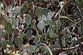 Eriogonum strictum 9240.JPG