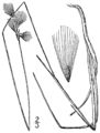 Eriophorum gracile BB-1913.png