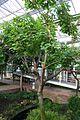 Erythrina Caffra & Africa (1) (11983903976).jpg