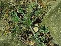 Eschscholzia californica 2019-04-16 0214.jpg