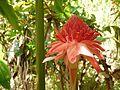 Etlingera elatior (rose porcelaine).jpg