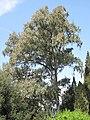 Eucalyptus camaldulensis (Serres de la Madone).jpg