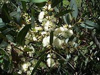 Eucalyptus ligulata