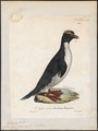 Eudyptes catarractes - 1825-1834 - Print - Iconographia Zoologica - Special Collections University of Amsterdam - UBA01 IZ17800217.tif