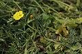 Eulobus californicus 7701.JPG