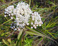 Eupatorium perfoliatum 1.jpg