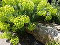 Euphorbia characias 02.JPG
