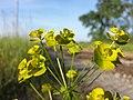 Euphorbia esula (s. str.) sl6.jpg