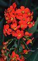 Euphorbia fulgens red.jpg