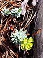 Euphorbia saxatilis sl11.jpg