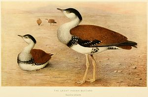 Great Indian bustard - Illustration by Henrik Grönvold from E. C. Stuart Baker's Game-birds of India, Burma and Ceylon