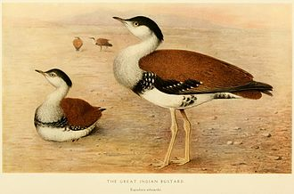 Great Indian bustard - Illustration by Henrik Grönvold from E. C. Stuart Baker's Game-birds of India, Burma and Ceylon