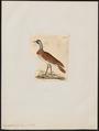 Eupodotis nuba - 1820-1860 - Print - Iconographia Zoologica - Special Collections University of Amsterdam - UBA01 IZ17200029.tif