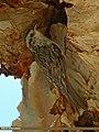 Eurasian Treecreeper (Certhia familiaris) (20062406214).jpg