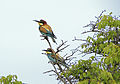 European bee-eater Bulgaria.jpg