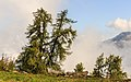 Europese lariks (Larix decidua) langs het voetpad tussen Grimentz en Vercorin 02.jpg