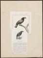 Euryceros prevosti - 1838 - Print - Iconographia Zoologica - Special Collections University of Amsterdam - UBA01 IZ15800115.tif