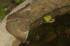 Euthalia aconthea of Kadavoor.jpg