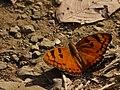 Euthalia nais (Baronet) (5329409048).jpg