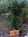 Evonimus europaeus Planta-DehesaBoyalPuertollano.jpg