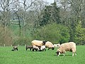 Ewes and Lambs, New Barns Farm, Hartsgreen, Shropshire - geograph.org.uk - 401067.jpg