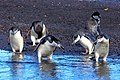 "Excursion No. 12. into the old caldera of Deception Island.Chinstrap Penguins (Pygoscelis antarcticus).""did you guys lose something.?"". (25989728846).jpg"