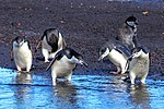"""Excursion No. 12. into the old caldera of Deception Island.Chinstrap Penguins (Pygoscelis antarcticus).""""did you guys lose something.?"""". (25989728846).jpg"""