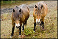 Exmoor ponies enjoying their holiday at Bredhurst Elfin & Merlin.jpg