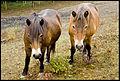 Exmoor ponies enjoying their holiday at Bredhurst Elfin & Merlin.jpg