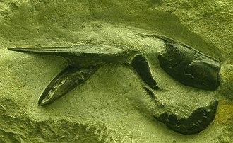London Clay - Exuvia of Hoploparia