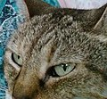 Eyes of Egyptian Mau change colour according to mood, first pale green.jpg
