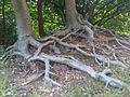 Fagus sylvatica - Putney Heath Common 1.jpg