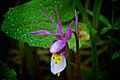 Fairy Slipper (5916433241).jpg