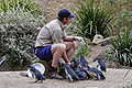 Fairy penguin feeding - melbourne zoo.jpg