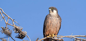 Eleonora's falcon - Perched on a branch in the Balearic Islands