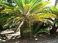 Fale - Giardini Botanici Hanbury in Ventimiglia - 651.jpg