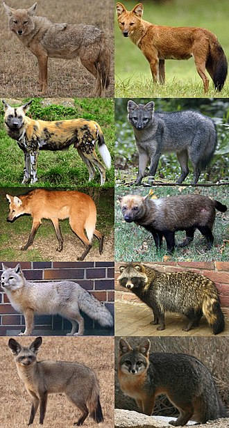 Canidae - Ten of the 12 extant canid genera left-to-right, top-to-bottom: Canis, Cuon, Lycaon, Cerdocyon, Chrysocyon, Speothos, Vulpes, Nyctereutes, Otocyon and Urocyon